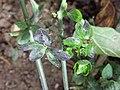 Solanum nigrum subsp. nigrum sl47.jpg