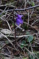 Soldanella alpina PID1787-1.jpg