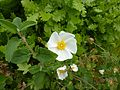 Solfatara Blüte und Laub.jpg