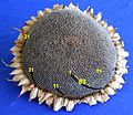 Sonnenblume fibonacci89 2496px.jpg