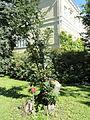 Sorbus intermedia - Botanical Garden in Kaisaniemi, Helsinki - DSC03457.JPG