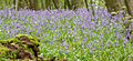South Weald bluebells.jpg