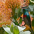 Southern Double-collared Sunbird (Cinnyris chalybeus) male visiting Leucospermum flowers ... (32591293670).jpg