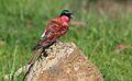 Southern carmine bee-eater, Merops nubicoides, Chobe National Park, Botswana (32420971376).jpg