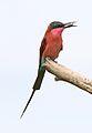 Southern carmine bee-eater, Merops nubicoides, Savuti marsh, Chobe National Park, Botswana (32421990876).jpg