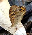 Speckled Wood. Pararge aegeria - Flickr - gailhampshire.jpg
