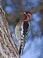 Sphyrapicus ruber -El Chorro Regional Park, San Luis Obispo County, California, USA-8 (3).jpg
