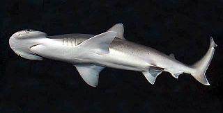 Bonnethead Genus of sharks