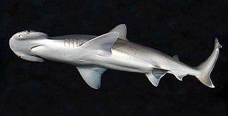 Bonnethead - Image: Sphyrna tiburo SI