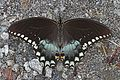 Spicebush Swallowtail - Papilio troilus, Okeefenokee National Wildlife Refuge, Folkston, Georgia.jpg