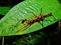 Spiny Stick Insect (Epidares nolimetangere) (6707375299).jpg