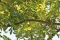 Spondias purpurea 18zz.jpg