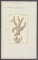 Spongia echidnaea - - Print - Iconographia Zoologica - Special Collections University of Amsterdam - UBAINV0274 112 02 0065.tif