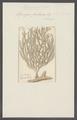 Spongia fruticosa - - Print - Iconographia Zoologica - Special Collections University of Amsterdam - UBAINV0274 112 05 0019.tif