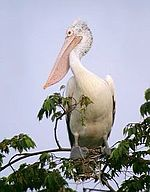 Spot-billed Pelican, once common, now rare and endangered