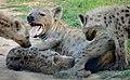 Spotted Hyaenas (Crocuta crocuta) female and youngs ... (31339732585) (2).jpg