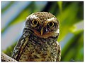 Spotted Owlet (16749488445).jpg