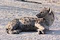 Spotted hyena crocuta crocuta.jpg
