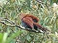 Squirrel Cuckoo (40176062874).jpg