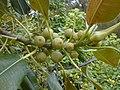 Starr-010520-0004-Ficus macrophylla-immature fruits-Sand Island-Midway Atoll (24164921809).jpg