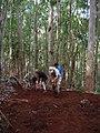 Starr-041214-1515-Eucalyptus sp-trail building-Makawao Forest Reserve-Maui (24695066066).jpg