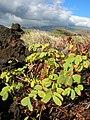 Starr-041223-2229-Senna gaudichaudii-habit-Kanaio Beach-Maui (24094428184).jpg