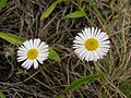 Starr-050816-3598-Erigeron karvinskianus-flowers-Waiale Gulch-Maui (24173654614).jpg