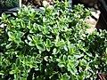 Starr-080117-2165-Thymus citriodorus-habit-Home Depot Nursery Kahului-Maui (24275639233).jpg