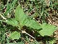 Starr-080531-4794-Solanum americanum-leaves-Charlie barracks Sand Island-Midway Atoll (24817396011).jpg