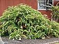 Starr-090417-6141-Medinilla magnifica-flowering habit-Haliimaile-Maui (24952185975).jpg