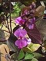 Starr-090803-3630-Lablab purpureus-flowers-Wailuku-Maui (24344198003).jpg
