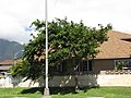Starr-090806-4016-Pterocarpus indicus f echinatus-habit-Kahului-Maui (24971768295).jpg