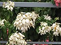 Starr-090806-4064-Mussaenda sp-white with yellow flowers-Kahului-Maui (24676348560).jpg