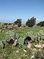 Starr-100331-4036-Opuntia ficus indica-flowering habit-Kula-Maui (24920174091).jpg