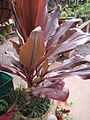 Starr-110124-0003-Cordyline fruticosa-habit red leaves-Sacred Garden of Maliko-Maui.jpg