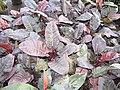 Starr-110215-1418-Philodendron sp-habit-KiHana Nursery Kihei-Maui (24779967780).jpg