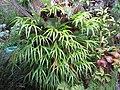 Starr-110307-2129-Platycerium bifurcatum-habit-Kula Botanical Garden-Maui (24959509032).jpg