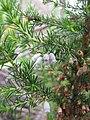 Starr-110331-4605-Erica lusitanica-flowers and leaves-Shibuya Farm Kula-Maui (24786373510).jpg