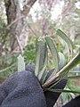 Starr-110331-4617-Banksia marginata-leaves-Shibuya Farm Kula-Maui (24714327649).jpg