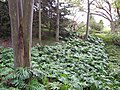Starr-120312-3787-Monstera deliciosa-habit in gulch-Kula Botanical Garden-Maui (25019519402).jpg