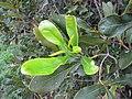 Starr-120319-3963-Macadamia integrifolia-some leaf margins entire-Upper Kimo Kula-Maui (25019826602).jpg