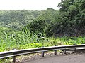 Starr-120606-7031-Mangifera indica-habit-Past Hana-Maui (25118359976).jpg
