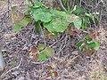 Starr-120620-9726-Actinidia deliciosa-habit-Kula Agriculture Station-Maui (24554789874).jpg