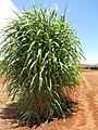 Starr-120702-7885-Cenchrus purpureus x glaucum-Hoolehua PMC hybrid Pearl Millet x banagrass var banagrass-USDA Plant Materials Center-Molokai (25092946341).jpg