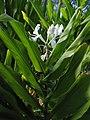 Starr-121031-0482-Hedychium coronarium-flowers and leaves-Waikamoi Flume Rd-Maui (24568167113).jpg