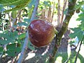 Starr-121108-1120-Ficus carica-Brown Turkey fruit-Pali o Waipio-Maui (25196811025).jpg