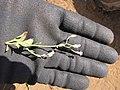 Starr-130320-3387-Cyanthillium cinereum-flowering habit-Nihoku Mokolea Pt Kilauea Pt NWR-Kauai (24582302073).jpg