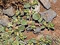 Starr-130617-5011-Alternanthera pungens-thorny habit-Kealia Pond NWR-Maui (24916620270).jpg