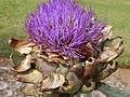 Starr-140719-1090-Cynara scolymus-flower-Hawea Pl Olinda-Maui (24617582123).jpg