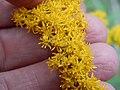 Starr-140930-2069-Solidago canadensis-flowers-Keokea-Maui (24619996733).jpg